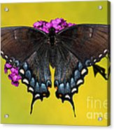 Tiger Swallowtail Butterfly, Dark Phase Acrylic Print