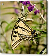 Tiger Swallowtail Butterfly Feeding Acrylic Print