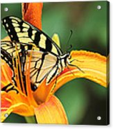 Tiger Swallowtail Butterfly On Daylily Acrylic Print