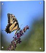 Tiger Swallowtail Acrylic Print