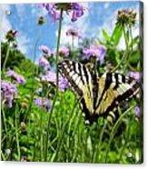 Tiger Swallowtail On Pincushion Flowers Acrylic Print