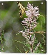 Tiger Swallowtails Acrylic Print