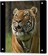 Tiger Symbol Of Acrylic Print