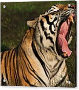 Tiger Teeth Acrylic Print