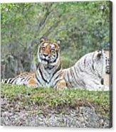 Tiger Time Acrylic Print