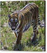 Tiger Acrylic Print by Tom Wilbert