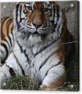 Tiger Waits Acrylic Print