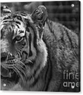 Tiger With A Hard Stare Acrylic Print