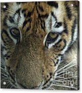 Tiger You Looking At Me Acrylic Print