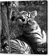 Tigers Kissing Acrylic Print
