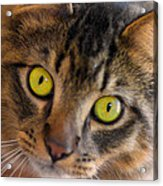 Tigger's Stare Acrylic Print