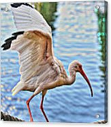 Tightrope Walking Ibis Acrylic Print