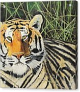 Tigress Acrylic Print