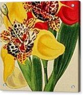 Tigridia Pavonia And Conchiflora Acrylic Print