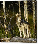 Timber Ghost Wolf Acrylic Print
