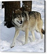 Timber Wolf In A Winter Snow Storm Acrylic Print