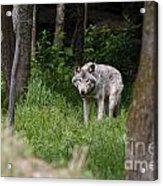 Timber Wolf In Forest Acrylic Print