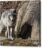 Timber Wolf In Pond Acrylic Print