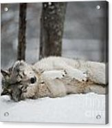 Timber Wolf In Winter Acrylic Print