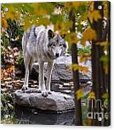 Timber Wolf On Rock Acrylic Print
