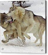 Timber Wolf  Pair Montana Acrylic Print