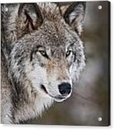 Timber Wolf Pictures 1067 Acrylic Print