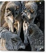 Timber Wolf Pictures 1096 Acrylic Print