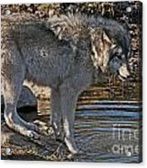 Timber Wolf Pictures 1101 Acrylic Print
