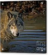 Timber Wolf Pictures 1103 Acrylic Print