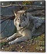 Timber Wolf Pictures 1148 Acrylic Print