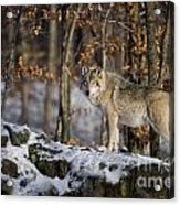 Timber Wolf Pictures 1206 Acrylic Print