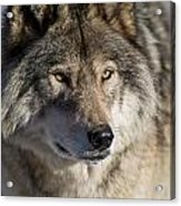 Timber Wolf Pictures 1218 Acrylic Print