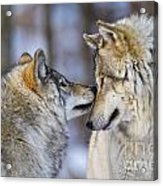Timber Wolf Pictures 1230 Acrylic Print