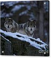 Timber Wolf Pictures 1233 Acrylic Print