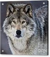 Timber Wolf Pictures 1271 Acrylic Print