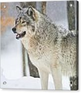 Timber Wolf Pictures 1302 Acrylic Print