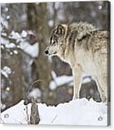 Timber Wolf Pictures 1306 Acrylic Print