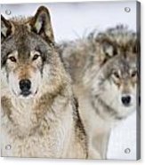 Timber Wolf Pictures 1312 Acrylic Print