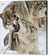 Timber Wolf Pictures 1314 Acrylic Print