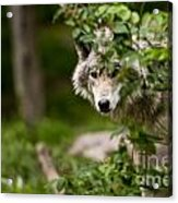 Timber Wolf Pictures 1328 Acrylic Print