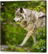 Timber Wolf Pictures 1329 Acrylic Print