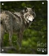 Timber Wolf Pictures 1336 Acrylic Print