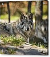 Timber Wolf Pictures 1363 Acrylic Print