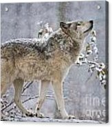 Timber Wolf Pictures 1401 Acrylic Print