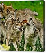 Timber Wolf Pictures 1593 Acrylic Print