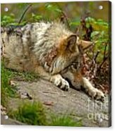 Timber Wolf Pictures 1646 Acrylic Print