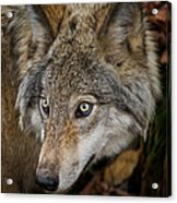 Timber Wolf Pictures 1660 Acrylic Print