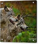 Timber Wolf Pictures 1710 Acrylic Print
