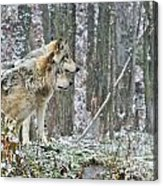 Timber Wolf Pictures 184 Acrylic Print