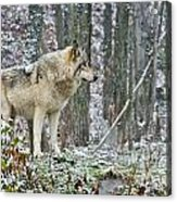 Timber Wolf Pictures 185 Acrylic Print